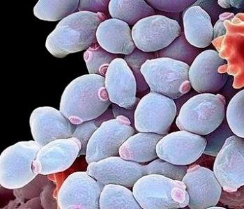 Candida Albicans под микроскопом